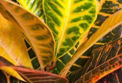 Кротон – элегантный цветок с пестрой листвой