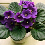 Растения и предрассудки - комнатные растения на Ваш Сад - цветочный портал Ваш Сад!