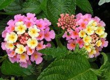 Lantana - svetle barve na letnem vrtu