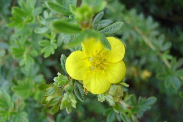 Cinquefoil храст - златен храст, за да се даде