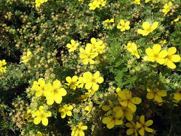 Куст лапчатки в цветении