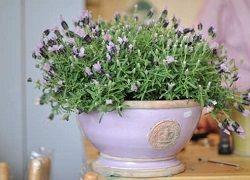 Лаванда с безукоризненным ароматом: выращивание в домашних условиях