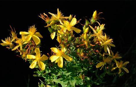 Herb kantarion