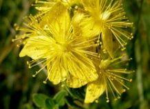 Лекарственные травы спасают от депрессии