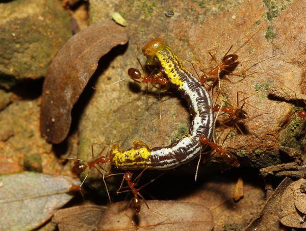 Особенно любят гусениц шелкопрядов, яблонной моли- могут их с самых верхних побегов забирать