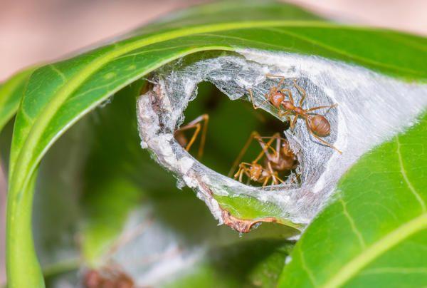 Южноафриканские муравьи-экофилы свое гнездо сооружают из склеенных листочков