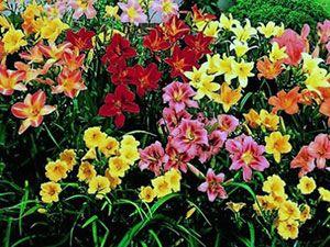 Daylily - plantare, îngrijire, soiuri și cultivare