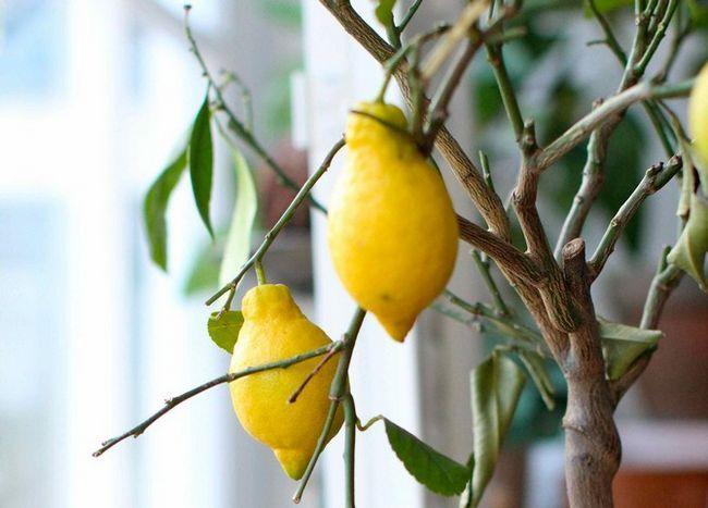 Советы и тонкости по размножению лимона из ксоточки