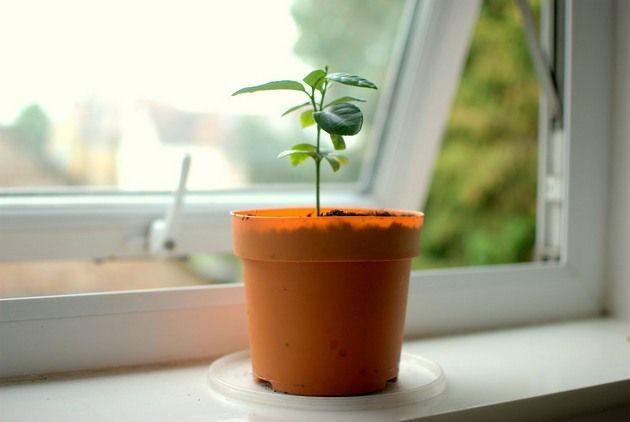 Проращивание неплохо осуществлять в тепличке, но можно обойтись и без нее
