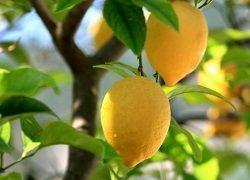 Лимонное дерево из обычной косточки