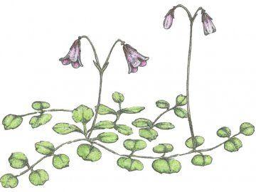 Линнея северная: удивительное лечебное растение