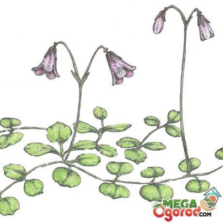 Лечебные свойства растения