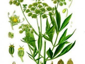 Листья, семена и корень любистока - для вкуса и здоровья