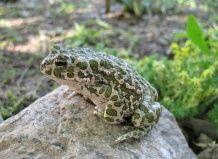 Лягушки и жабы в саду