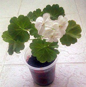 Mladé rostliny muškáty