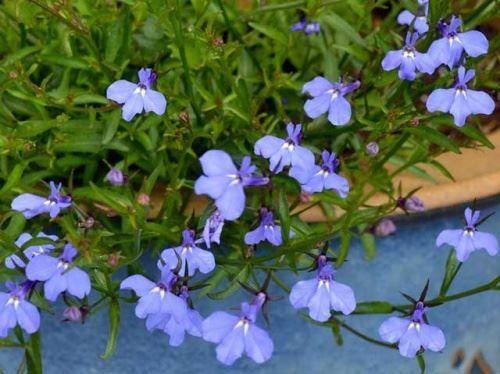 Лобелия -«хитрости» по выращиванию рассады