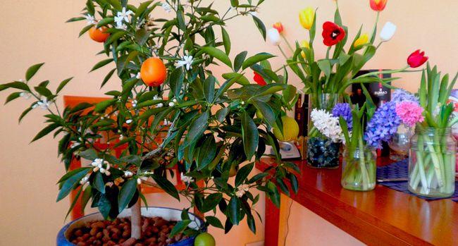 Tangerine drevo - Nega na domu