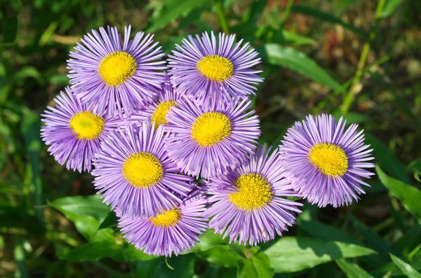 Erigeron - непретенциозно цвете за всяка градина ъгъл