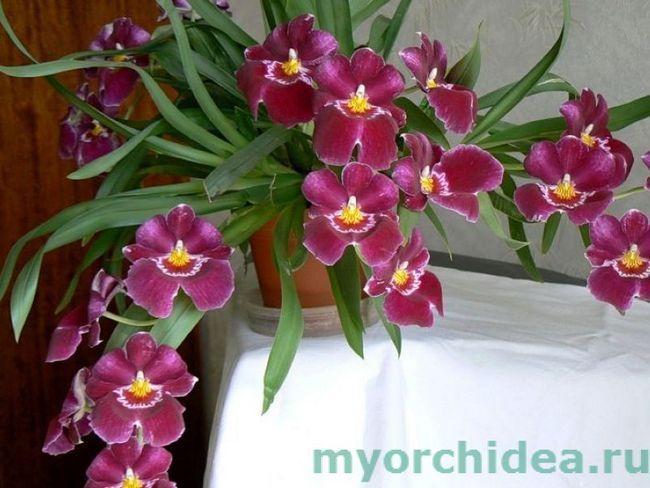 Miltonia orhideje foto