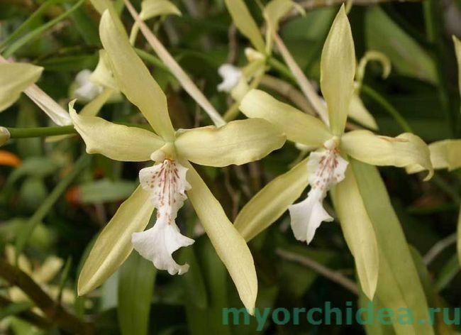 orhideja Miltonia rumenkasto fotografija