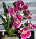 Orchid Miltonia (miltoniopsis, Miltonia). Nega na domu