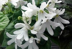 фиалка Lunar Lily–white