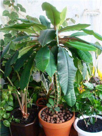 Молочай беложилковый: пальма на вашем окне