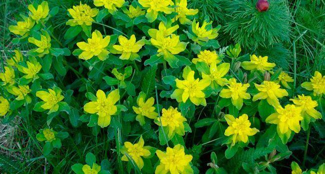 Grădină perene tulichina: plantare și îngrijire