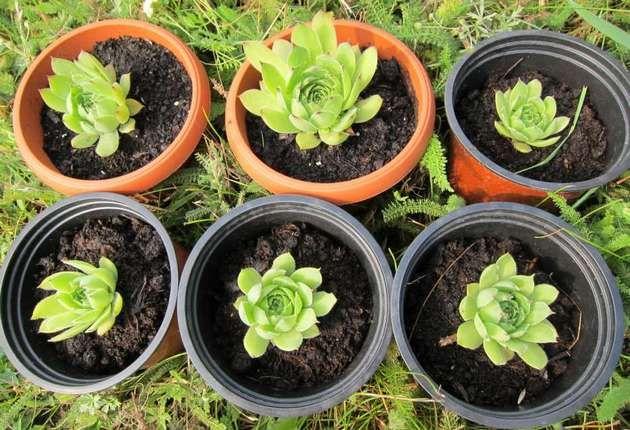 Размножение «каменной розы» может осуществляться двумя способами: вегетативным и семенным