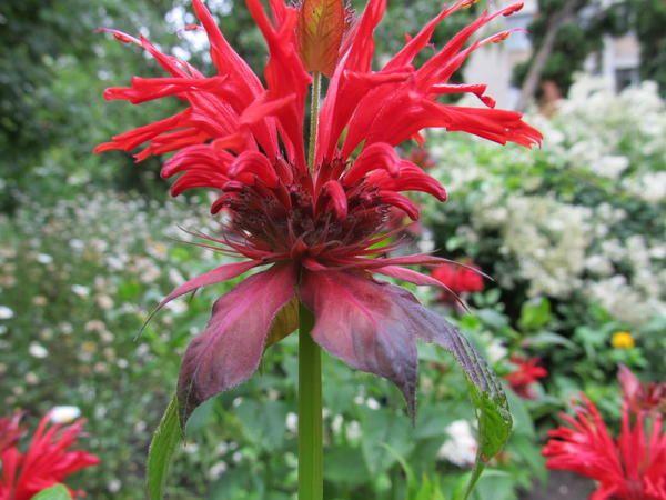 Monarda - червена пеперуда градина