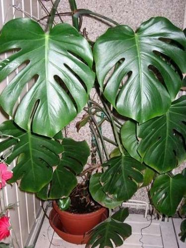 Монстера на фото - огромное лиановидное растение
