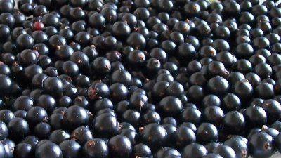 Сорт черной смородины белорусская
