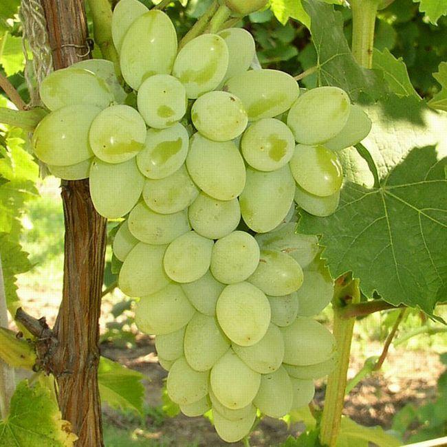 Виноград светлана описание сорта фото