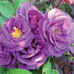 Nagubana vrtnica