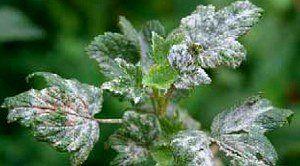 листья с мучнистой росой