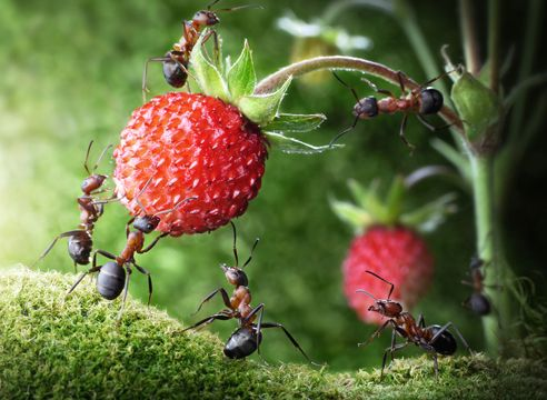 Мравки, горски плодове