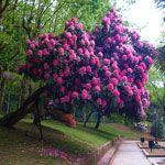 Najbolj priljubljena in pogostih vrst rododendronov