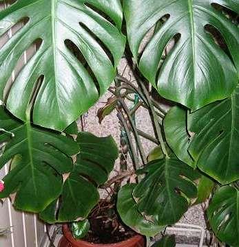 Нецветущие комнатные растения для вашего дома
