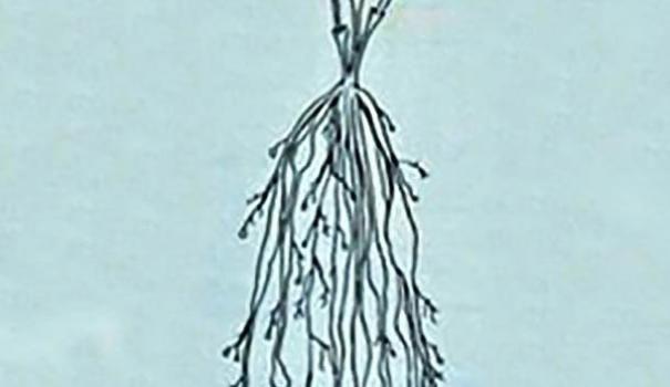 Корни клематиса с нематодой