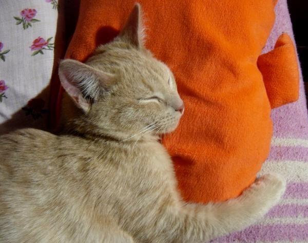 Персик любит спать в обнимку с подушкой.
