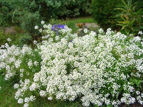 Необыкновенно легкое выращивание алиссума