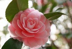 Необыкновенный для декора цветок — камелия