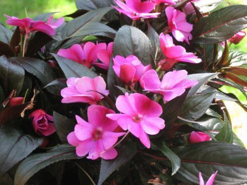 Неприхотливые комнатные растения – бальзамин