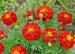 Неприхотливые многолетние цветы: что выбрать для дачи?
