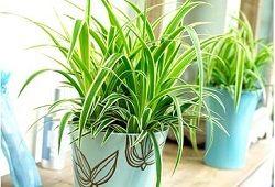 "Nepretențioasă Chlorophytum ca verde ""curat"""