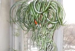 Chlorophytum buclat