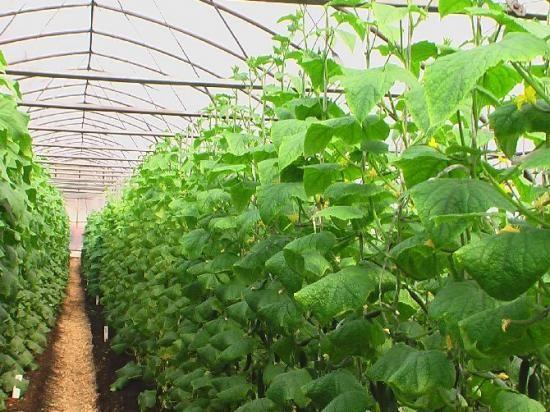 Несколько советов по выращиванию огурцов в теплице