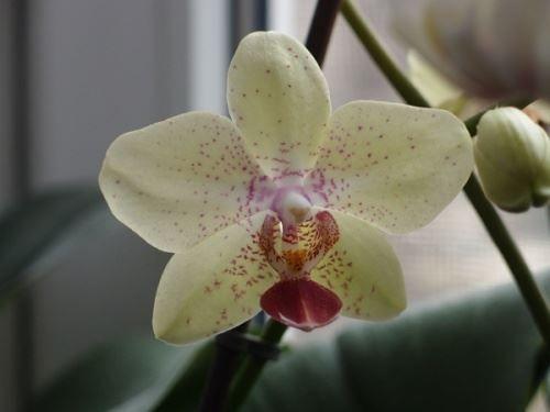 Неземная красота орхидеи