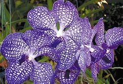 Нежная орхидея Ванда для композиций