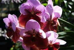 Vanda orhideje
